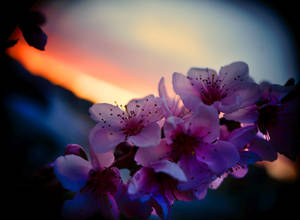 Blossoms at Sunset