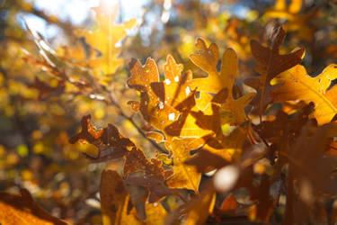 Sun Rays on Oak Leaves