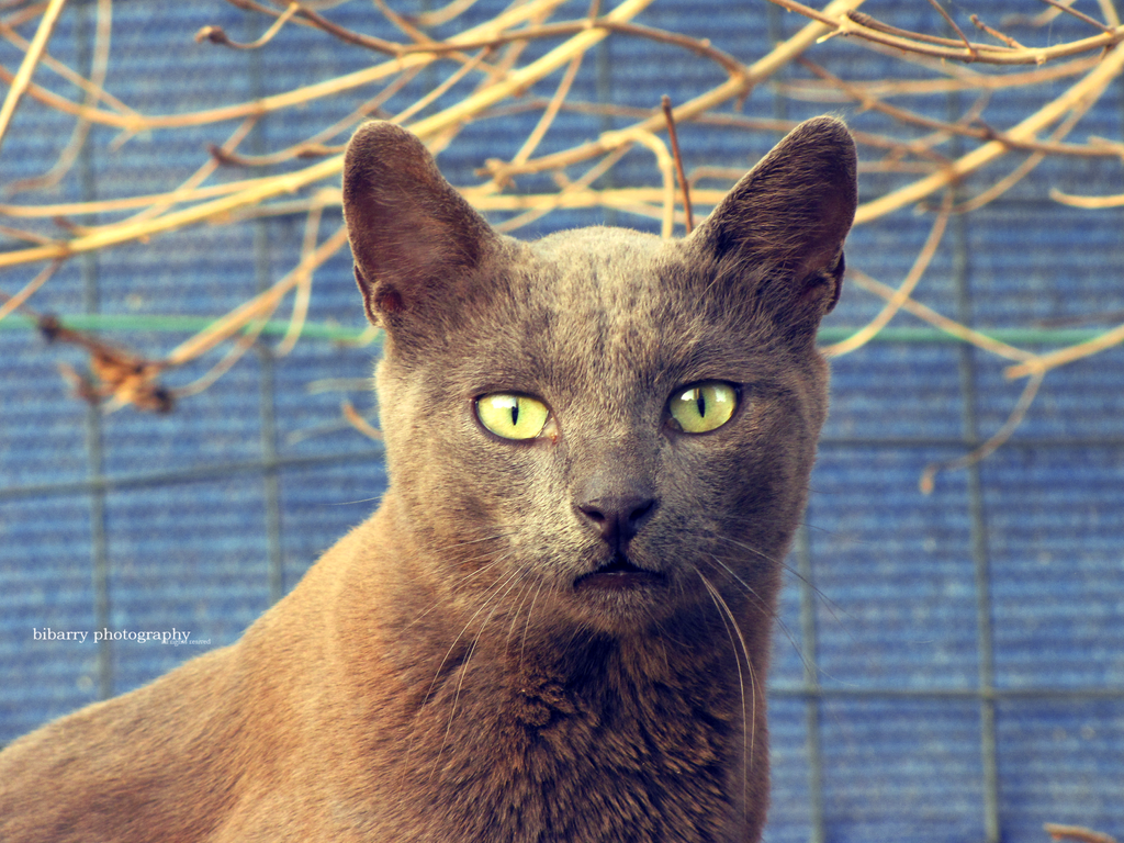 Russian Blue Cat 2 by bibarry on DeviantArt