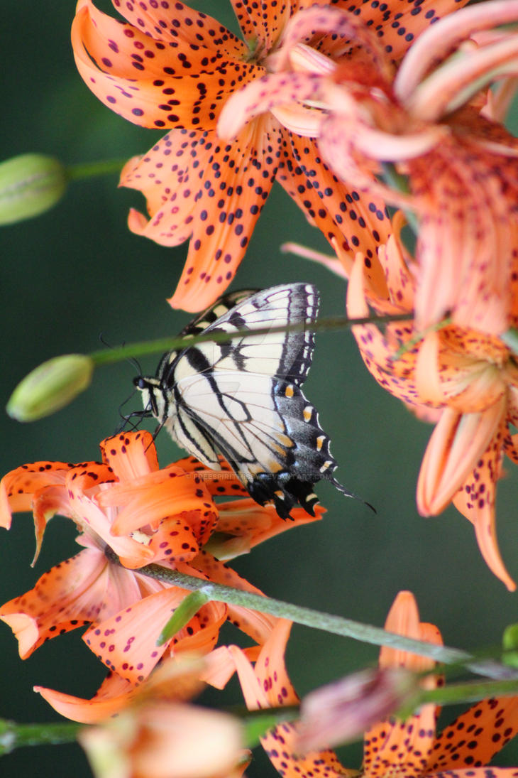 Tiger Swallowtail on a tiger lilly by freespiritmissy
