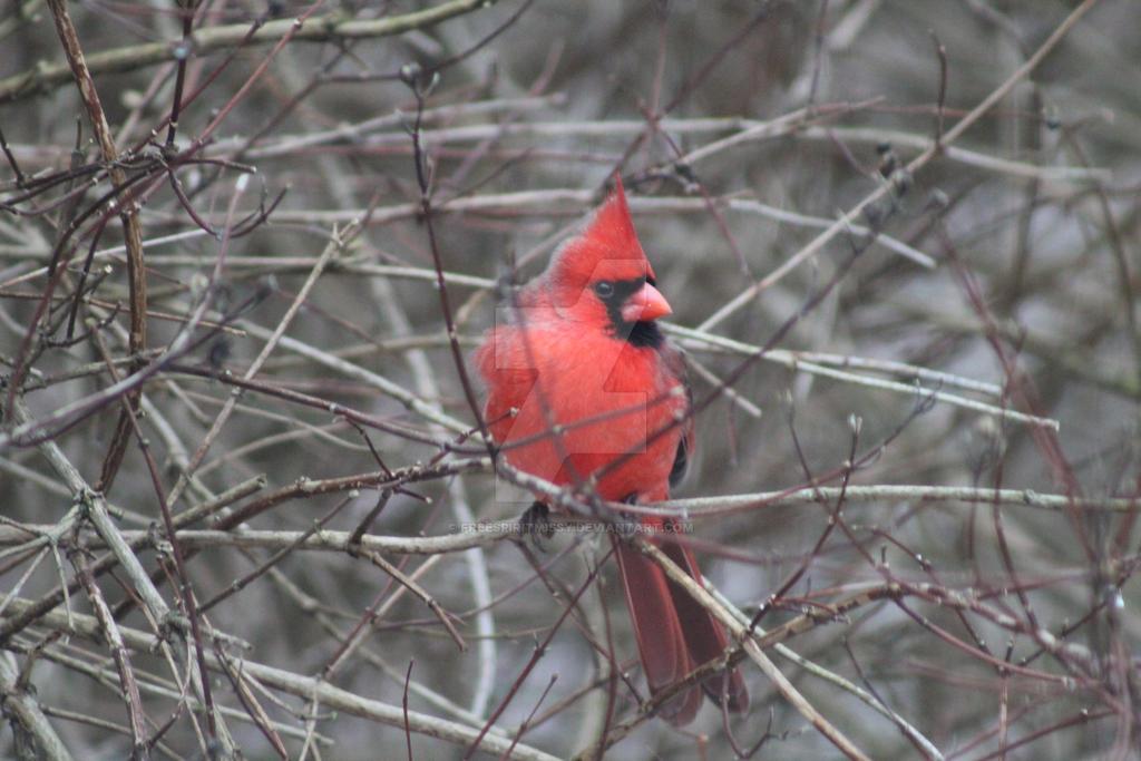 Male Cardinal by freespiritmissy