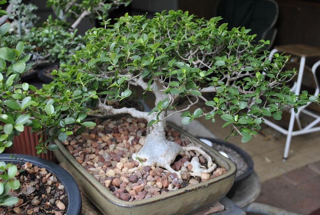 Bonsa Cration Fiche d entretien du Ficus (Ficus microcarpa, ginseng)