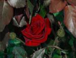 Hiding Rose