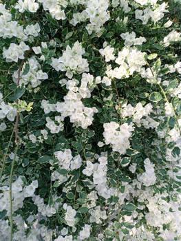white flowers ^^~