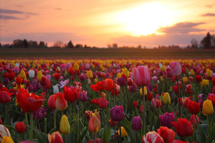 Tulip Fields, Oregon Sunset