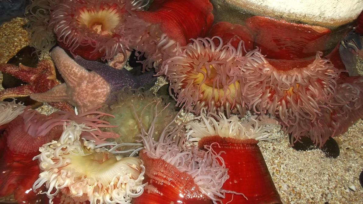 anemones by Linnara