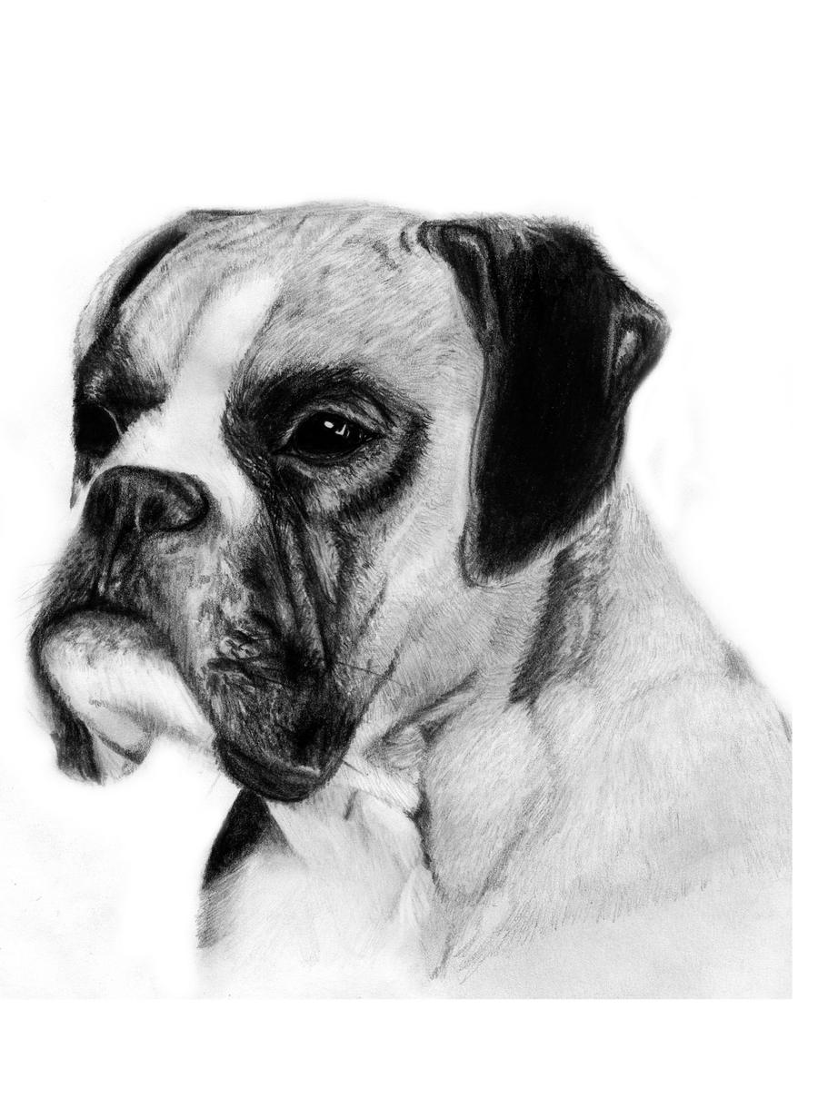 Boxer dog drawing by slippy88