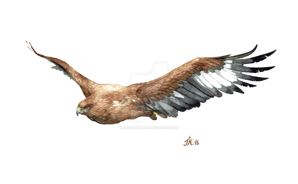 Golden Eagle (bird #17). by JacobKihlgren