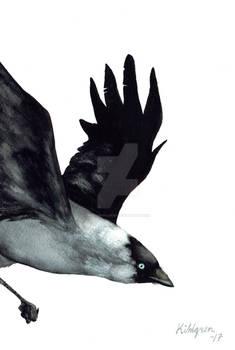 Jackdaw (bird #36).