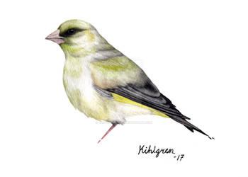 European Greenfinch (bird #38).