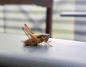 Metrioptera roeseli (Roesel's bush cricket)