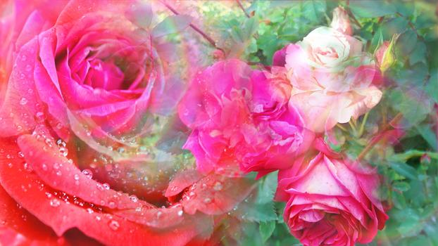 Waltz of Roses