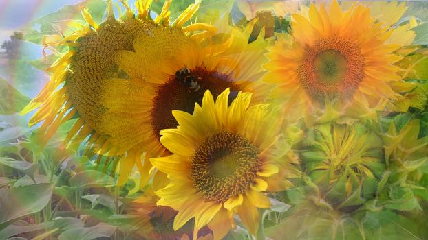 Waltz of the Sunflower