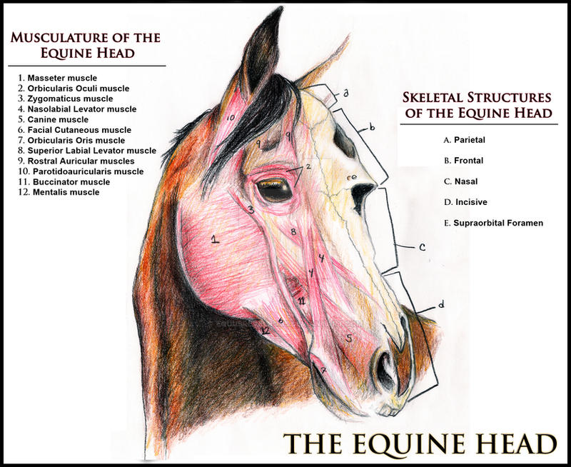 Equine Facial Structure By Equusrevelrous On Deviantart