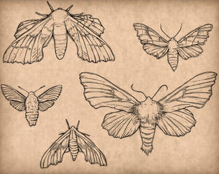 Sphingidae by NaeleAyolle