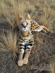 Serval Plush in the Wild