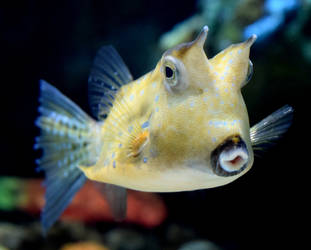 Cow Fish by Toniasis