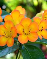 Blushing Orange by Toniasis