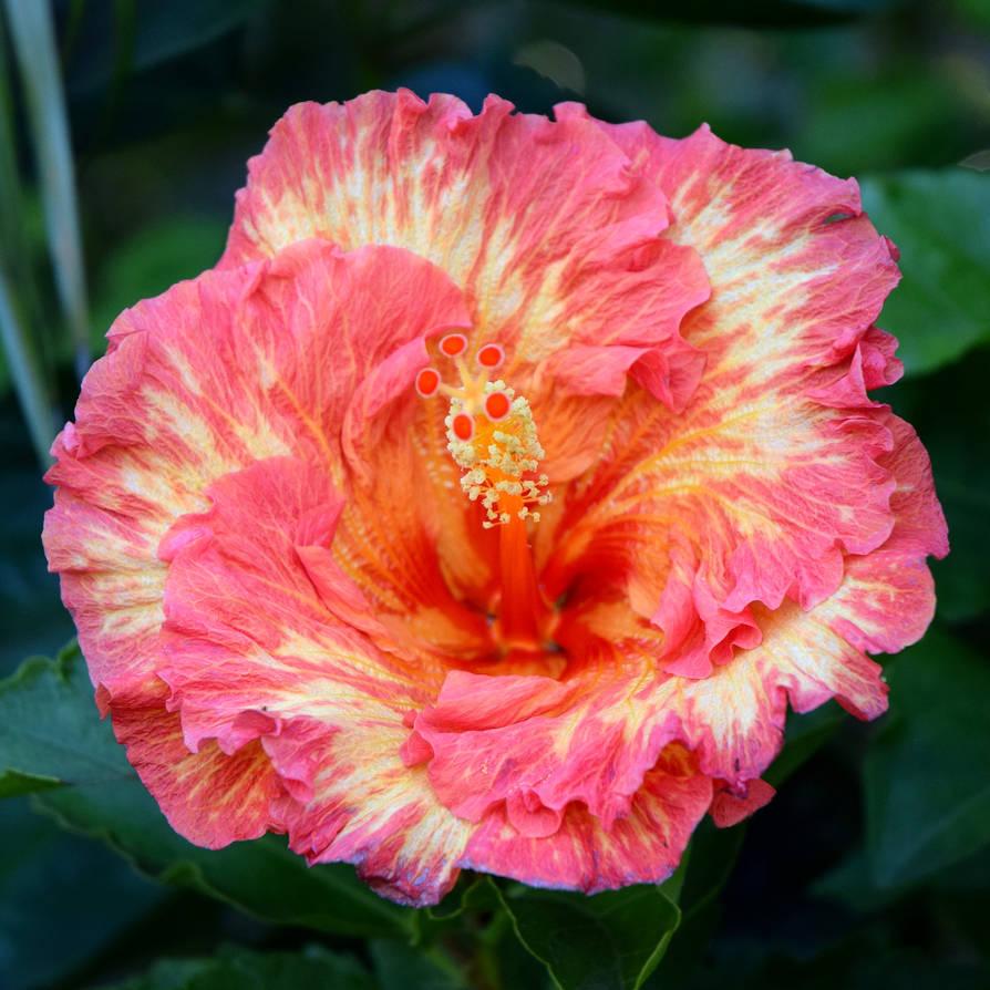 Tie Dye Hibiscus By Toniasis On Deviantart