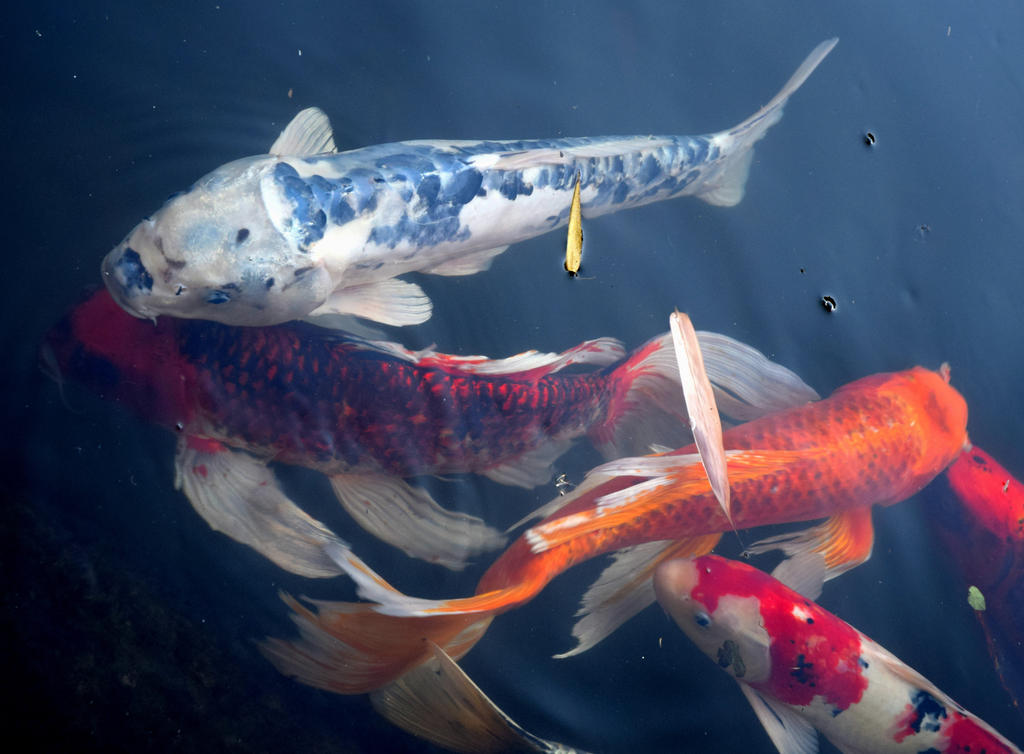 7d61fc6778c0b Butterfly Koi by Toniasis on DeviantArt