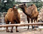 Camel Kiss
