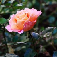 Rose forever by florapudelkova