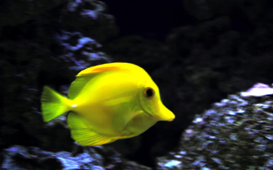 Yellow Saltwater Fish By Miniskirtroy On Deviantart