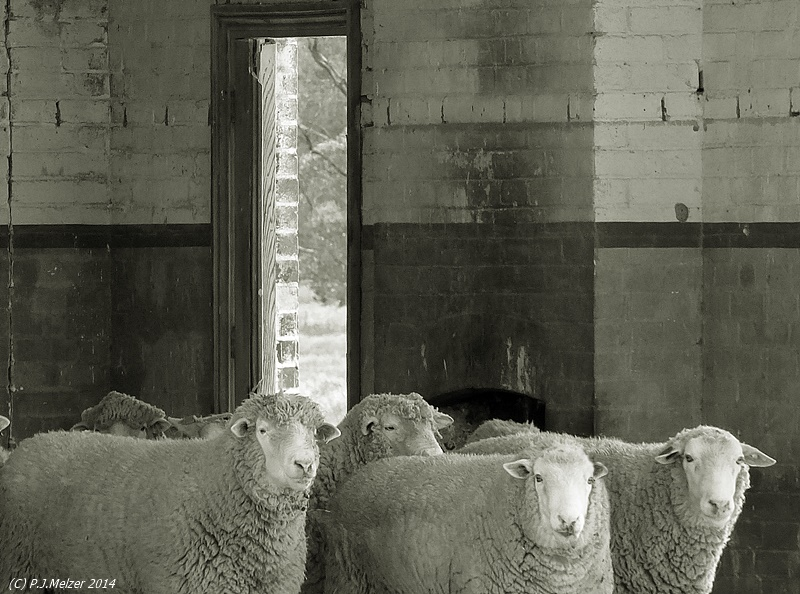 Wooly Sheep In School by Maxibouy1