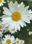 Close up Daisy.