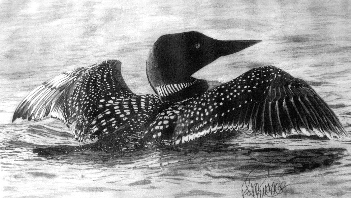 common loon by robb scott drawings on deviantart
