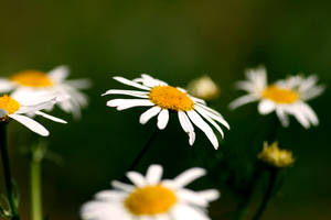 Daisies by 6eternity9