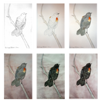 Red-wing blackbird step-by-step