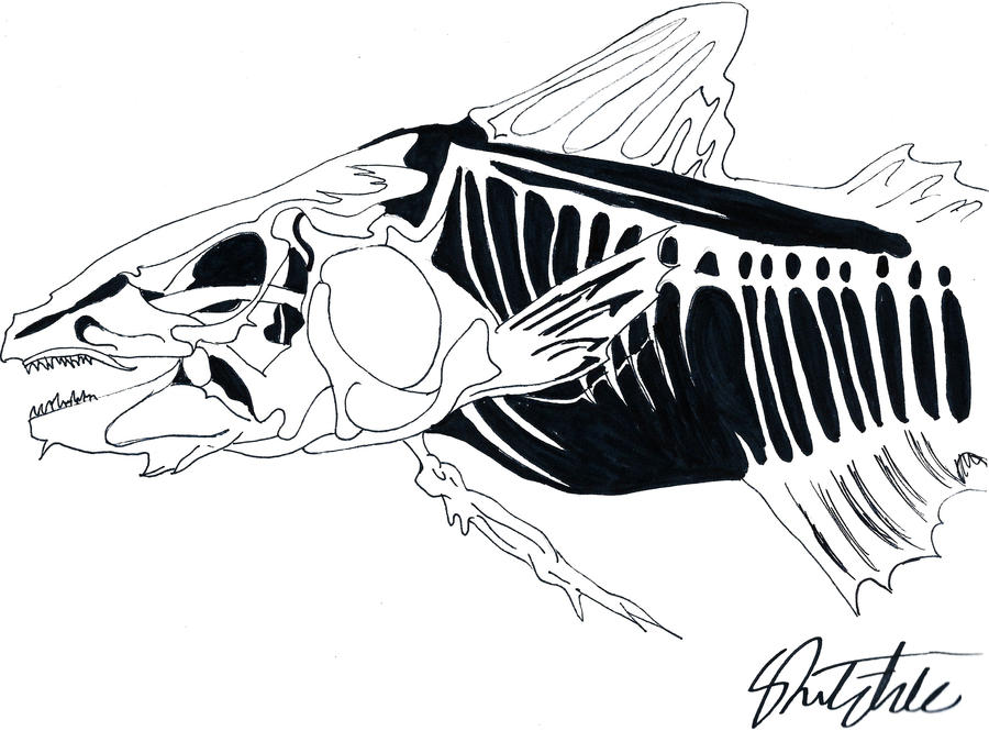 Line Art Of Fish : Fish xray line drawing by aldwyndor on deviantart