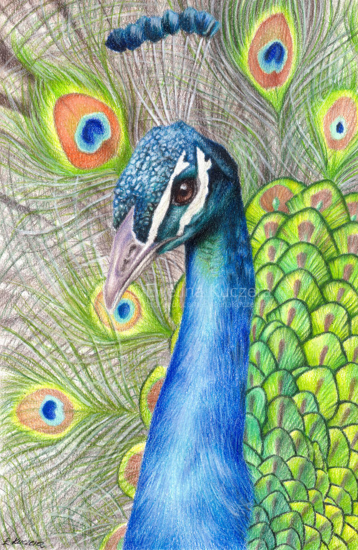 peacock drawing by kot filemon