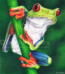 Red-eyed tree frog drawing