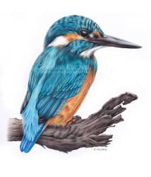 Kingfisher drawing by Kot-Filemon