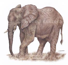 Elephant Drawing by Kot-Filemon