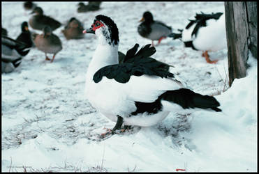 Muscovy Duck by DwayneF