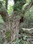 tree trunk with ivy 1