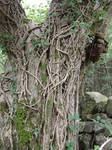 tree trunk with ivy 2