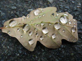 oak leaf and water droplets by RTyStock