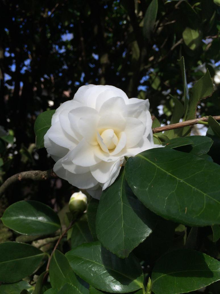 White Camellia Flower by Mossstripel
