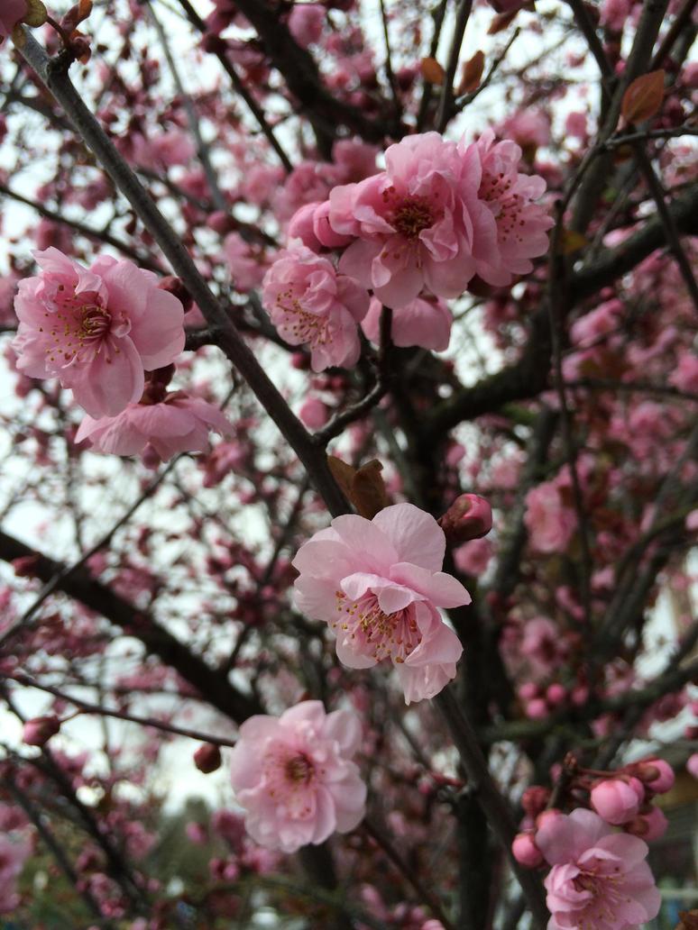 Cherry Blossoms by Mossstripel