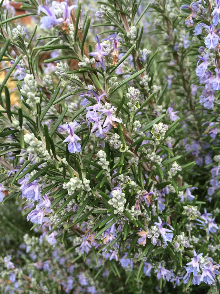 Lavender by Mossstripel