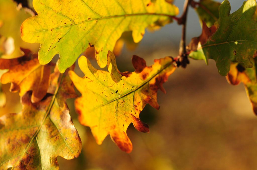 Golden oak by Valdkynd