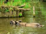 Swinning Rhino