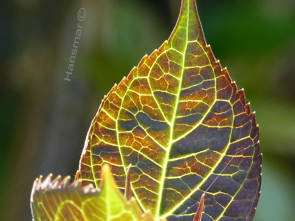 Hydrangea Leaf by Hansmar
