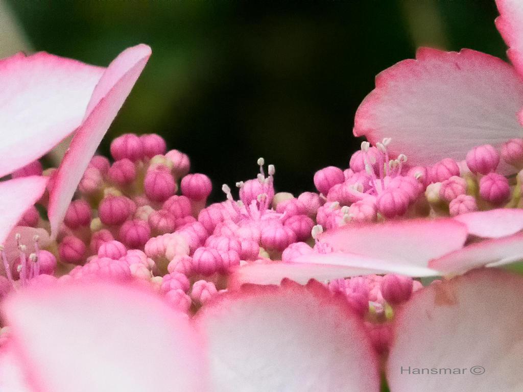 Busy flower buds by Hansmar