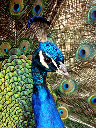 Peacock by ihopetherespudding