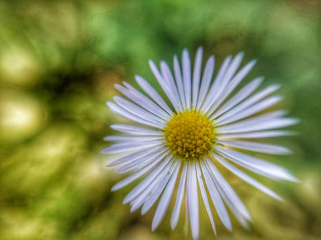 Daisy in forest